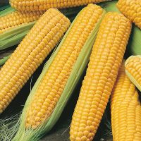 Yellow Corn Whole Seed
