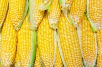 Organic Yellow Corn