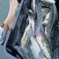 Frozen Tilapia Fish Whole
