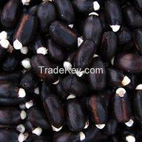 Premium Quality New Crop Jatropha Seeds