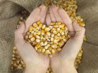 Animal Feed - Yellow Corn/Maize