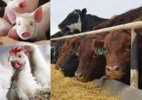 Livestock - animals