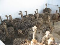 Ostrich chick/fertile ostrich eggs/Fertile Ostrich Eggs/Ostrich Chicks/Table