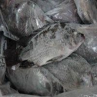 Frozen Tilapia Fish Factory