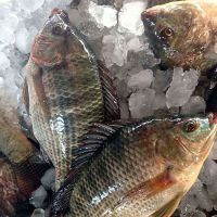 Frozen Tilapia Fish whole round 90%NW on sale