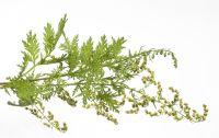 Enzymatically Treated Artemisia Annua