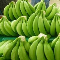 Fresh Green Cavendish Banana Best Quality.