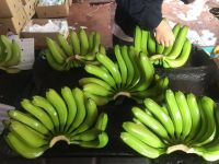 High Quality Fresh Banana with competitive price