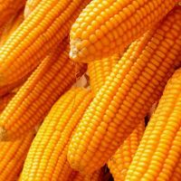 Dry Maize/ Dried Yellow Corn/Dried Sweet Corn