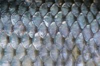 Fish Scale Ms.Selena+84906086094