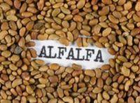 First Class Alfafa Seeds