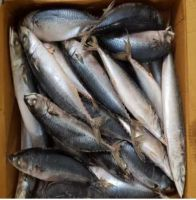 Hq Fresh and Frozen Mackerel