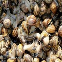 25 Weight (kg) and Food Product Type LIVE GIANT African Snails for Sale