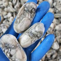 Seafood Fresh and LIve Oysters Quality Guaranteed