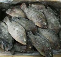 best quality frozen tilapia fish