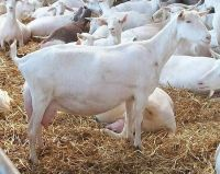 Milking Saanen Goats for sale