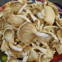 oyster mushroom spawn price