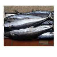 WR 250/350gr Pacific Mackerel Spanish Mackerel