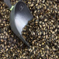 Black Water Melon Seeds for sale