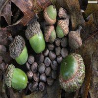 Oak Acorns For Sell