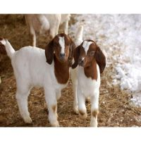 Live well fed Boer Goats