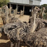 Healthy Ostrich Chicks / Fertile Hatching Ostrich Eggs