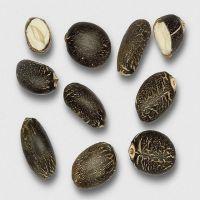Premium Quality New Crop Jatropha Seeds For sale