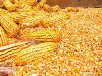 corn(yellow and white)
