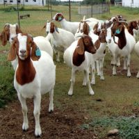 Healthy Boer Goats / Live Boer Goats For Sale