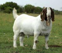 South Africa Live Pure Breed Boer Goat / 100% Full Blood Live Boer Goats / Live Goats.