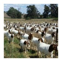Purebred Boer Goats For Sale