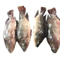Fresh and Frozen whole tilapia for sale