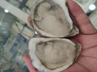 Good Quality New Season Frozen Half Shell Oyster