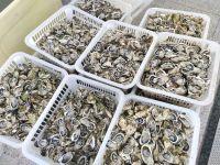 Good Quality New Season Frozen Half Shell Oyster