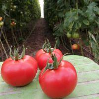 Cheap Tomato