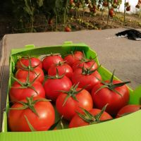 tomato for tomato paste and Ketchup