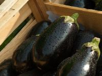 Wholesale fresh potato Iranian supplier Eggplant