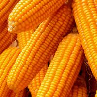 Yellow Corn & White