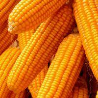 Yellow Corn & White Corn/Maize for Human & Animal Feed