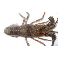 Lobster (Live/Frozen)