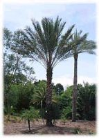 Date Palm Trees Exporter and Egyptian Palm Trees