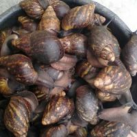 Live Highly Nutritious African Giant Snails