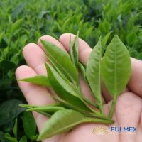 OTD Pekoe Black tea at Wholesale price - Weight Loss Tea Manufacturer - Vietnamese Organic, Free Sample