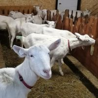 Pure Breed Live Saneen Goats for sale