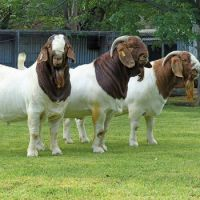 Pure Breed Boer Goat for sale from United Kingdom