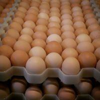 Best price Fresh Chicken Eggs