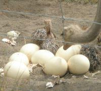 Fertile Ostrich Eggs