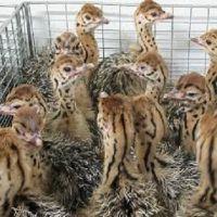 Live Ostrich Chicks / Fresh Fertile Eggs For Sale