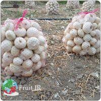 fresh Onion, Iranian Onion