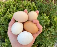 FRESH FARM CHICKEN WHITE AND YELLOW EGGS AT CHEAP PRICE